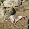 Jethro, chien Whippet