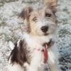 Jipsy, chien Fox-Terrier