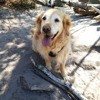 Jixie, chien Golden Retriever