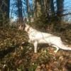 Jo Des Cîmes D'Or, chien Braque du Bourbonnais