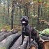 Joke, chien Staffordshire Bull Terrier