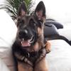 Joni, chien Berger allemand