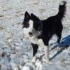 Junon, chien Berger d'Anatolie