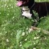 Juck Star, chien American Staffordshire Terrier
