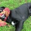 Jules, chien Golden Retriever