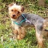 Jungo, chien Yorkshire Terrier