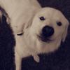 Jypsy, chien Berger des Pyrénées