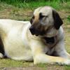 Kanga, chien Berger d'Anatolie