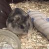 Karamel, rongeur Hamster