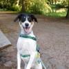 Karla, chien Parson Russell Terrier