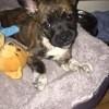 Kenai, chien Bouledogue français