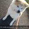 Kenji, chien Akita Inu