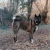 Kioto, chien Akita américain