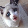 Kit-Kat, chat