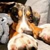 Kobe, chien Beauceron