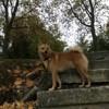 Koda, chien Spitz finlandais