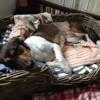 Kyara, chien Teckel
