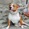 L'Boy, chien American Staffordshire Terrier