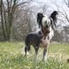 Léo, chien Chien chinois à crête