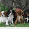 Lady, chien Cavalier King Charles Spaniel