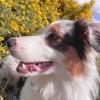 Laika, chien Berger australien