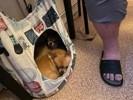 Lali, chien Chihuahua