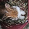 Lapin Marron, rongeur Hamster