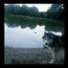 Laska, chien Husky sibérien