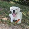Lassa, chien Dogue argentin