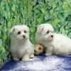 Laura, chien Bichon maltais