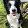 Lawson, chien Border Collie