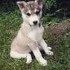 Layanna, chien Husky sibérien