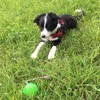 Photo de Layka, chiot Border Collie - 385169