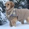 Lea, chien Golden Retriever