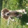 Leia, chien Setter anglais