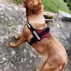 Leia, chien Dogue de Bordeaux