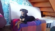 Lelia, chien American Staffordshire Terrier