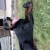 Lex, chien Dobermann