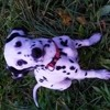 Lexa, chien Dalmatien