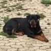 Liberty Belle, chien Rottweiler
