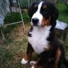 Lila, chien Bouvier bernois