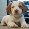 Lilas, chien Épagneul français