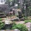Lili, chien Braque de Weimar