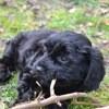 Lilou, chien Caniche