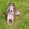 Lily, chien Petit Lévrier italien