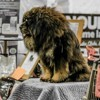 Lin Des Lions Du Tibet, chien Dogue du Tibet