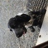 Lipton, chien Cocker anglais