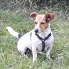 Lizzy, chien Jack Russell Terrier