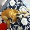 Locki, chien Berger australien