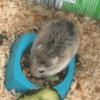 Locky, rongeur Hamster